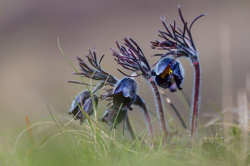 Цветки весны крупного плана голубые стоковое изображение