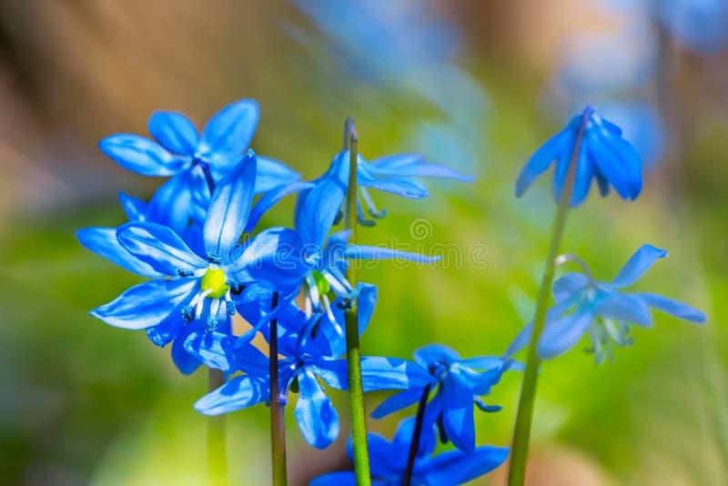 Цветки весны крупного плана голубые стоковая фотография rf