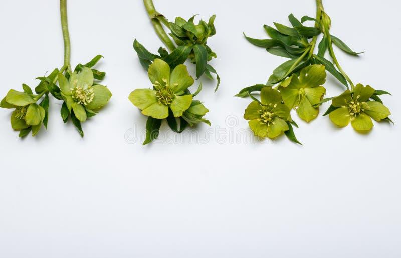 Цветки весны, морозник стоковое фото