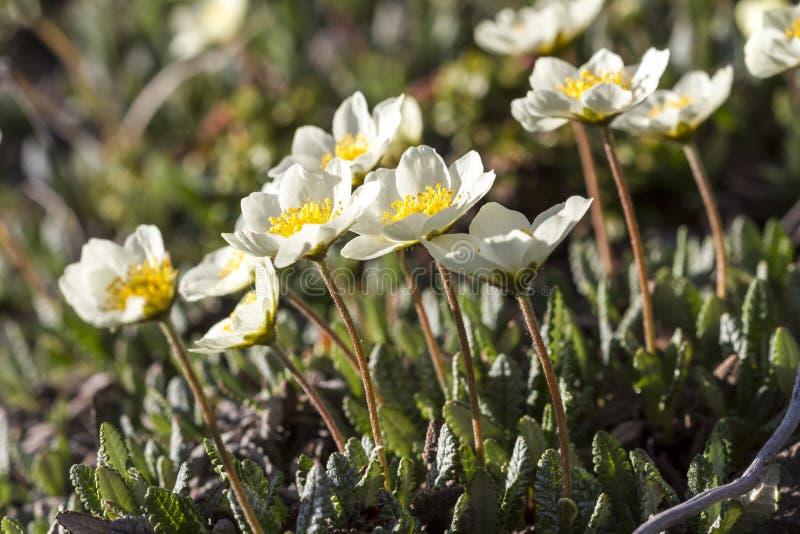 Цветки весны нежные в горах стоковое фото rf