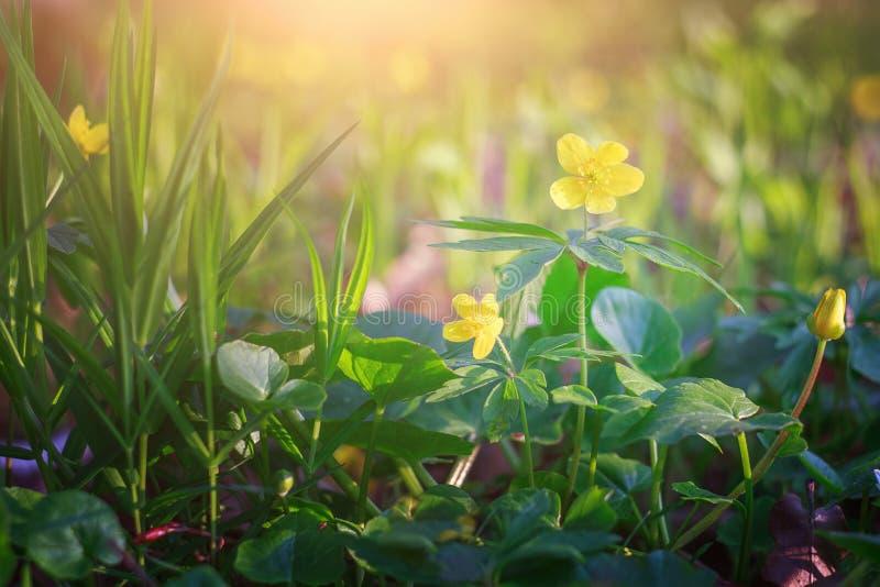 Цветки весны одичалые желтые стоковые изображения