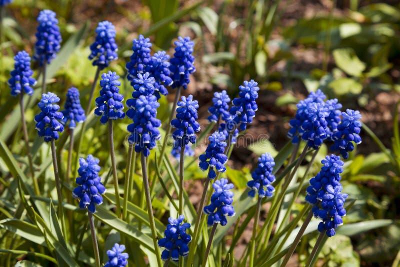 Цветки весны - синь цветет Muscari стоковое изображение rf