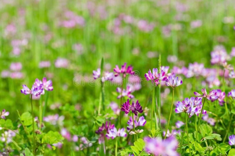 Цветки вики молока зацветая в cropland стоковое фото rf