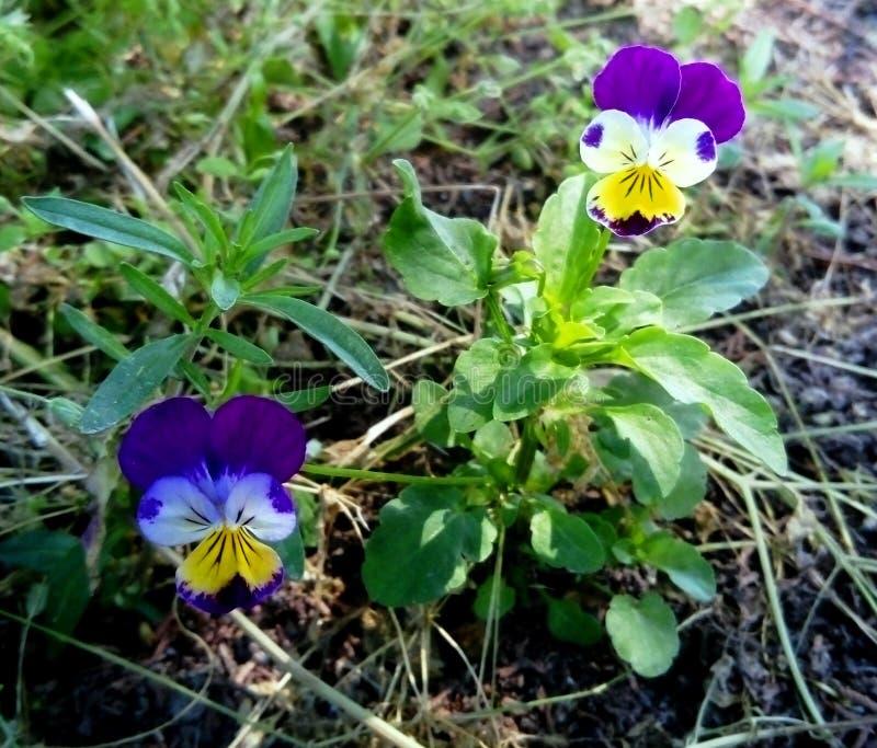 Цветки Виола tricolor крошечные стоковые фотографии rf