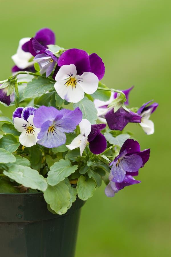 Цветки Виолы стоковая фотография
