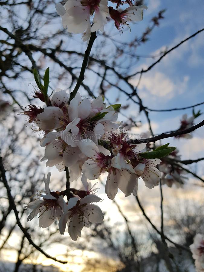 Цветки вишневого дерева очаровательные стоковые изображения rf