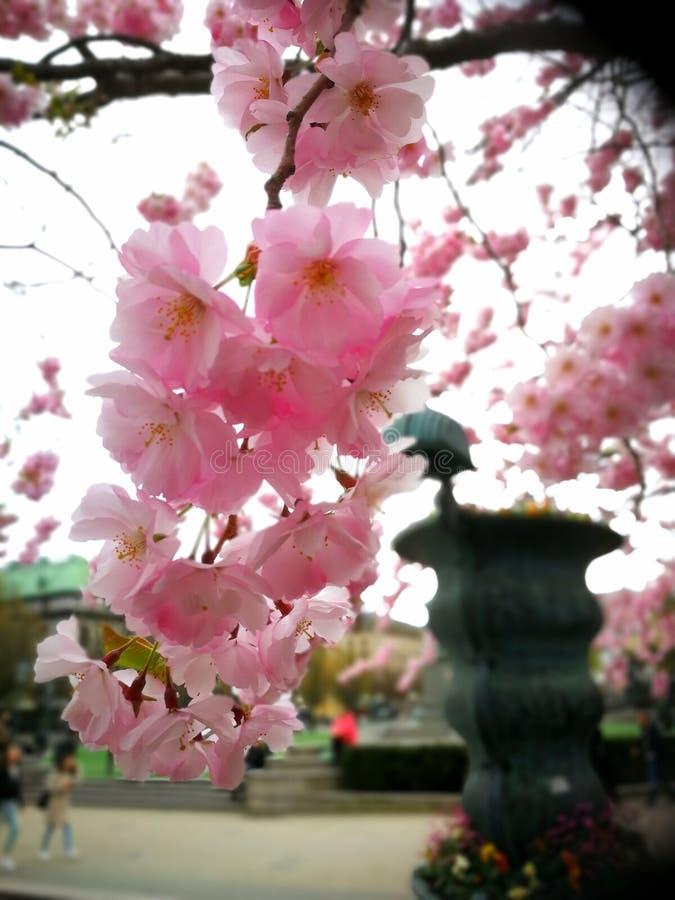 Цветки вишневого дерева стоковая фотография rf