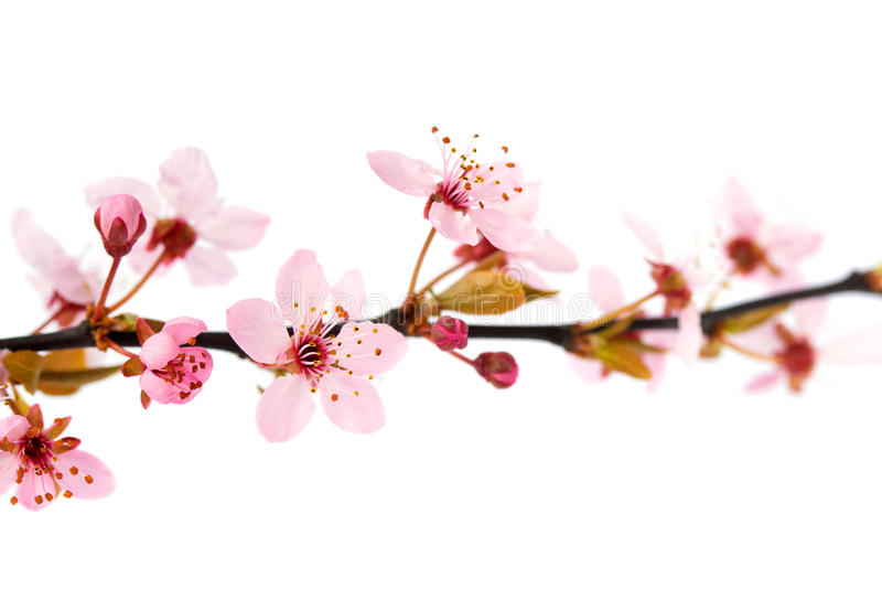 Цветки вишневого дерева весны, изолированные на белой предпосылке стоковое изображение rf