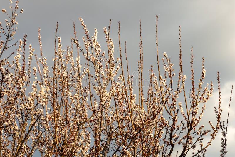 Цветки вишневого цвета весной стоковые изображения