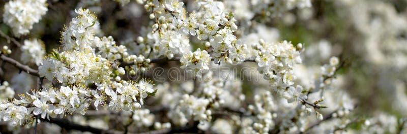 Цветки вишневых цветов весны Цветки весны белые на дереве стоковая фотография