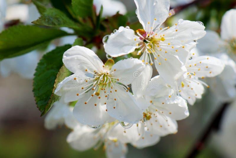 Цветки вишневых цветов на предпосылке весеннего дня стоковое фото rf