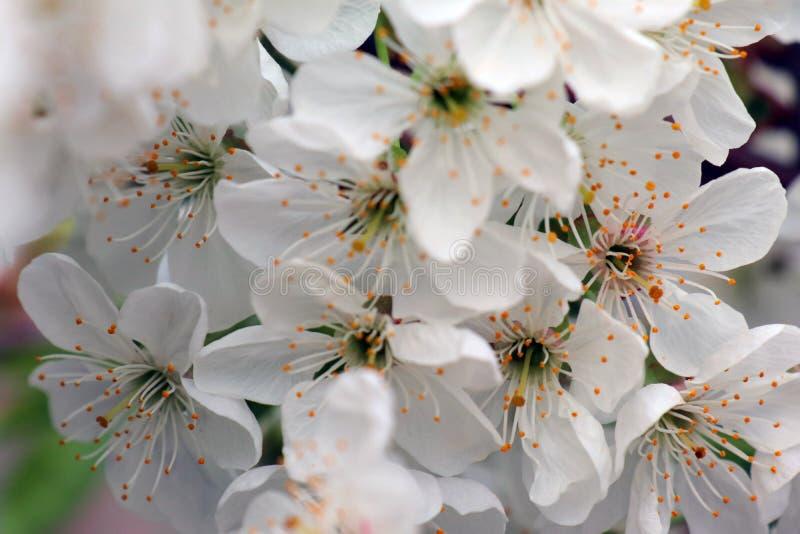 Цветки вишневых цветов на предпосылке весеннего дня стоковые фотографии rf