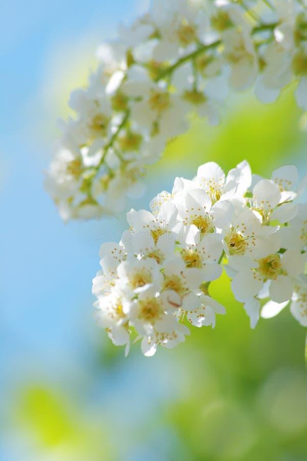 цветки вишни птицы стоковые изображения rf