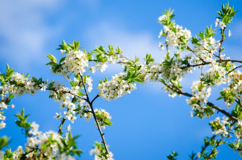 Цветки вишни с голубым небом стоковое фото rf