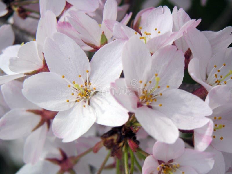 Download цветки вишни стоковое изображение. изображение насчитывающей цвет - 78223