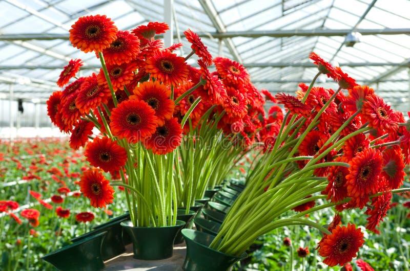 Цветки в коммерчески парнике стоковое фото rf