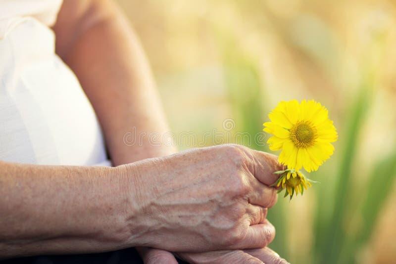 Цветки в руках пожилой женщины стоковые изображения rf
