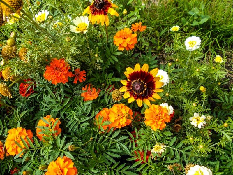 Цветки в саде Солнцецвет орнаментальный, цветки Tagetes в саде стоковые фотографии rf