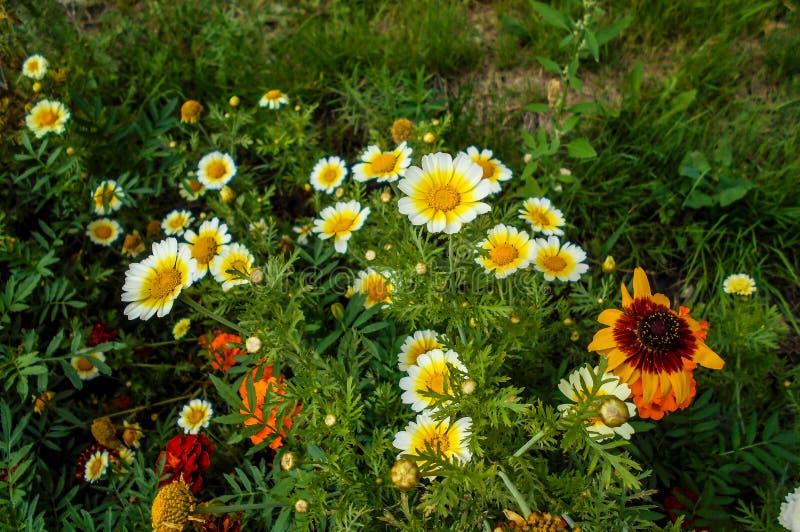 Цветки в саде Platyglossa Layia стоковое фото rf