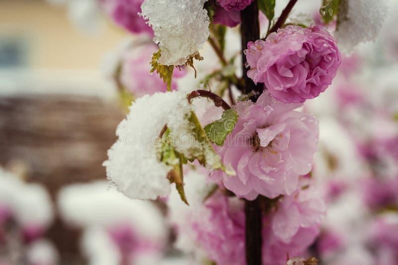 Цветки в снеге, идут снег весной, снег и цветки, розовое hawtho стоковая фотография rf