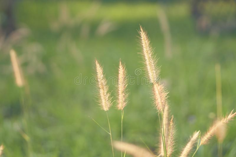 Цветки в утре, двигая в ветер Золотая трава травы солнца Чувство теплое и яркое стоковая фотография