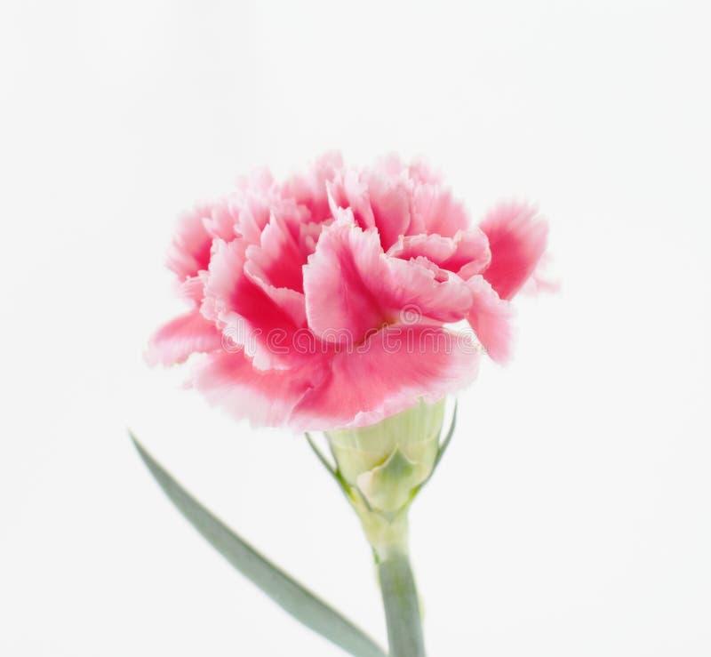Цветки гвоздики закрывают вверх на предпосылке стоковые фотографии rf