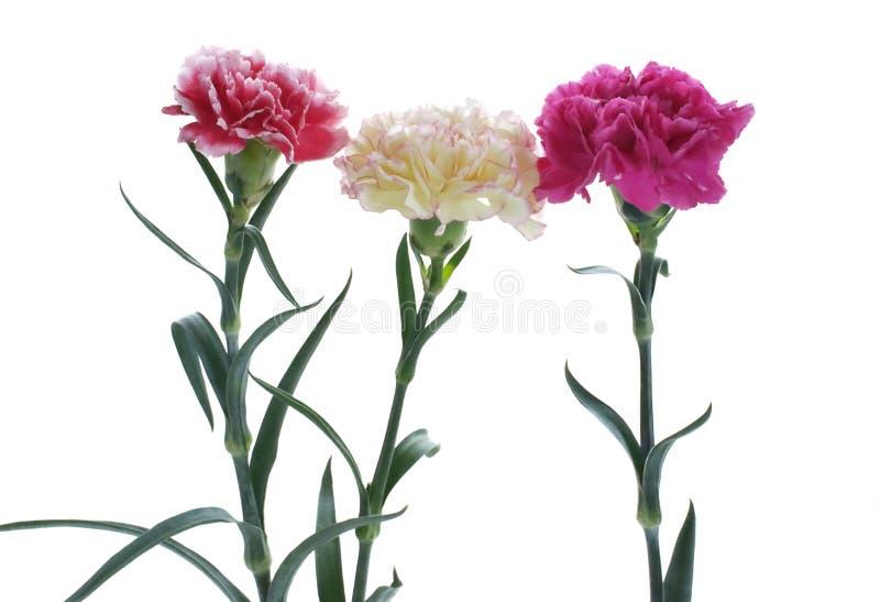 Цветки гвоздики закрывают вверх на предпосылке стоковое фото