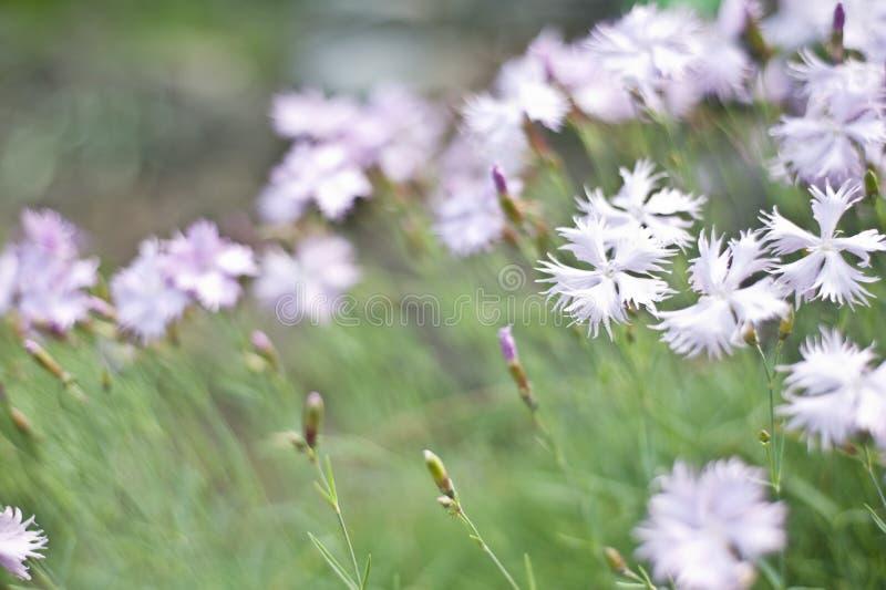 Цветки гвоздики в саде стоковые фото