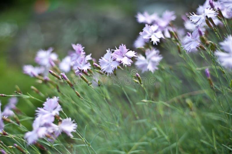 Цветки гвоздики в саде стоковое изображение rf