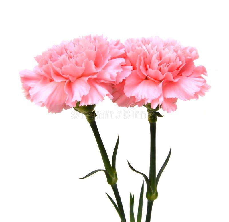 Цветки гвоздик стоковая фотография rf