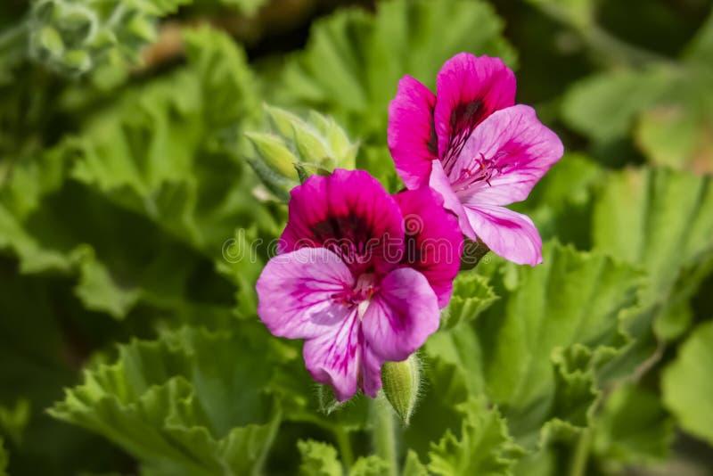 Цветки гераниума в природе хотя обыкновенно вызванный гераниум, этот известный в горшке завод фактически пеларгония стоковые изображения