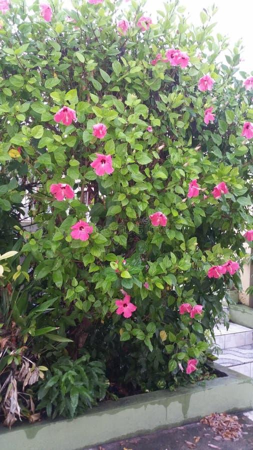 Цветки гибискуса стоковые фотографии rf