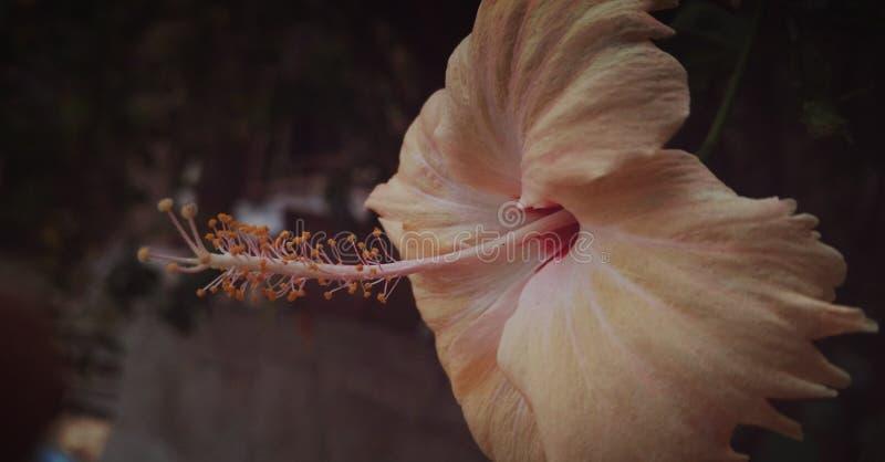Цветки гибискуса стоковое изображение