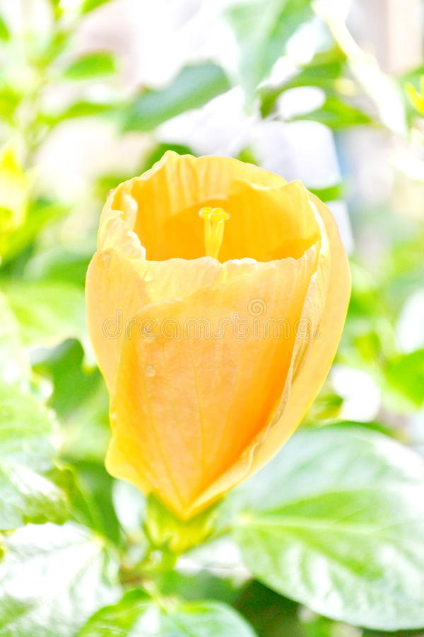 Цветки гибискуса стоковая фотография