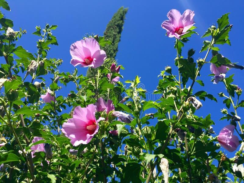 Цветки гибискуса стоковое фото rf