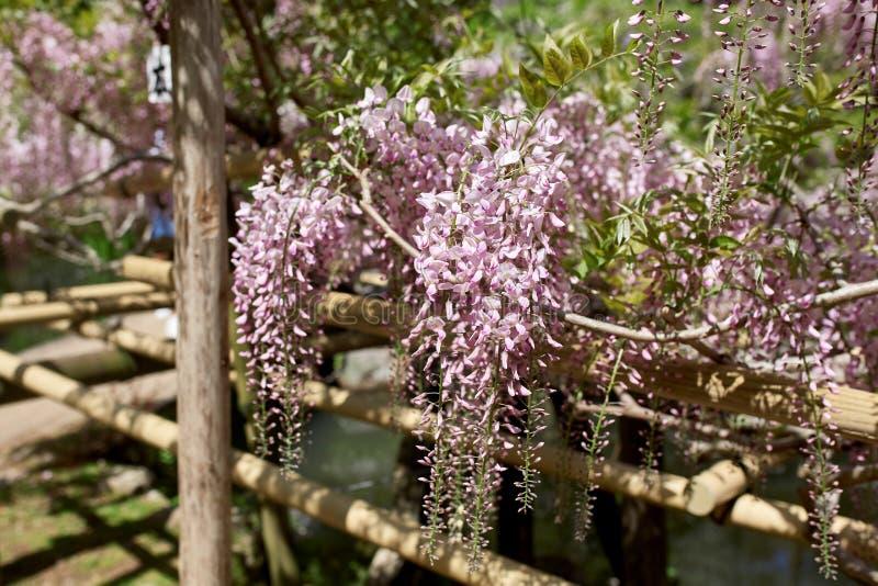 Цветки глицинии вися от шпалеры в Японии стоковая фотография