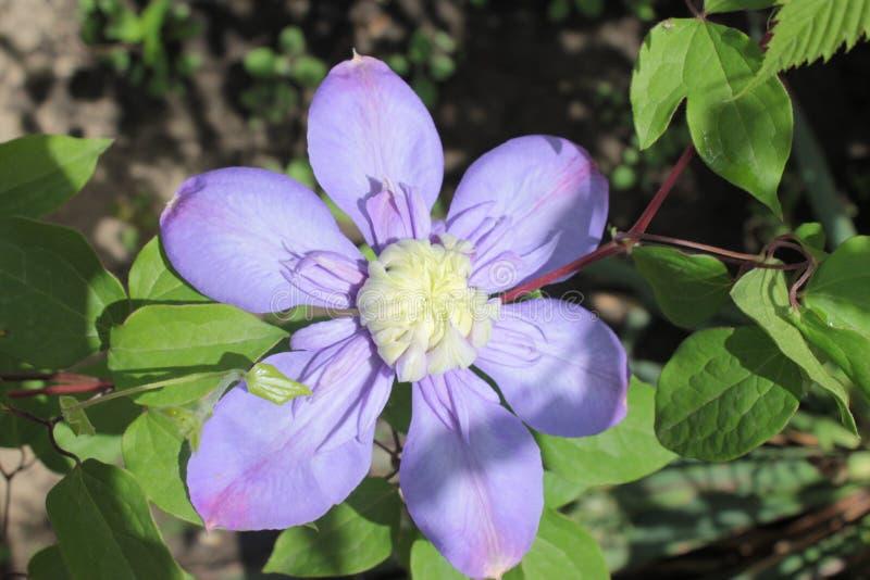 Цветки голубого clematis растя в саде стоковое изображение rf
