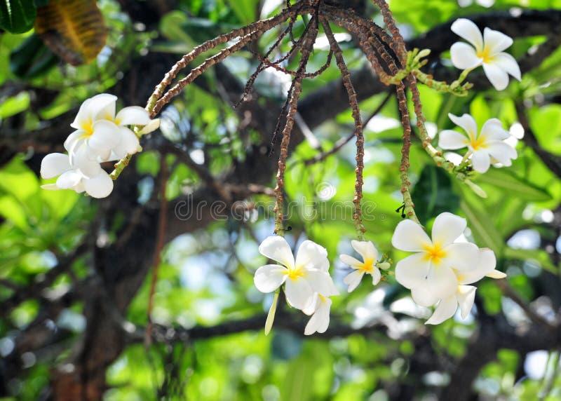 цветки Гонолулу стоковое фото