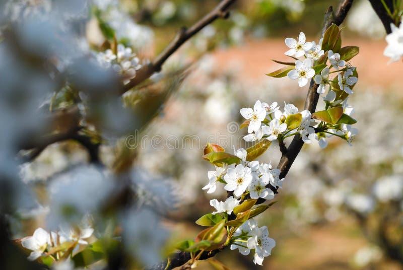 Цветки грушевого дерев дерева белы стоковое изображение rf