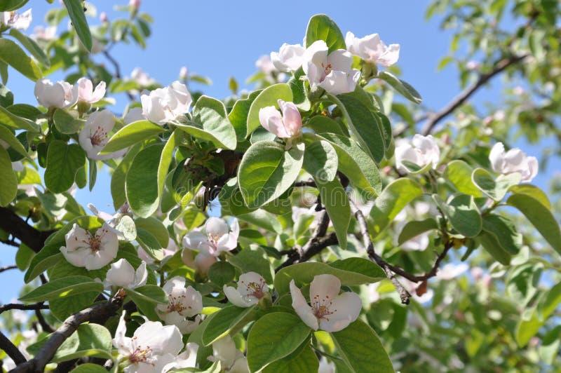 Цветки дерева айвы стоковое изображение rf