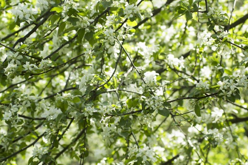 Цветки дерева весны цвести предпосылка цветет белизна стоковое фото