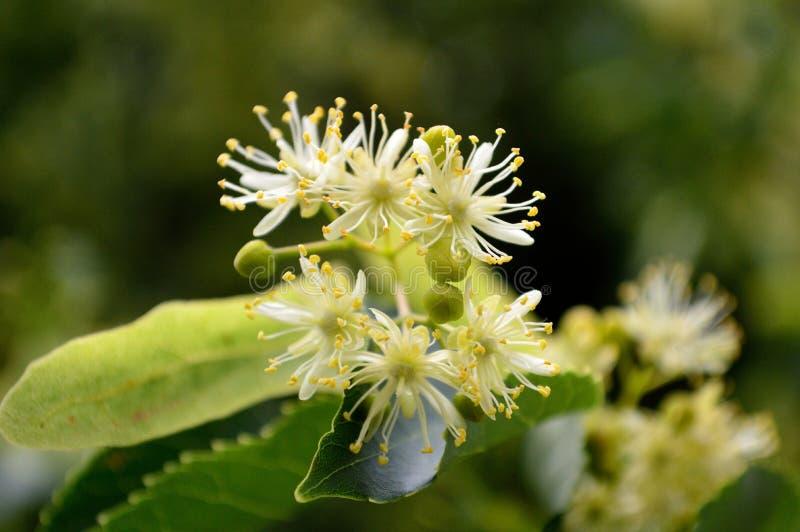 Цветки дерева липы Glenleven стоковые фотографии rf