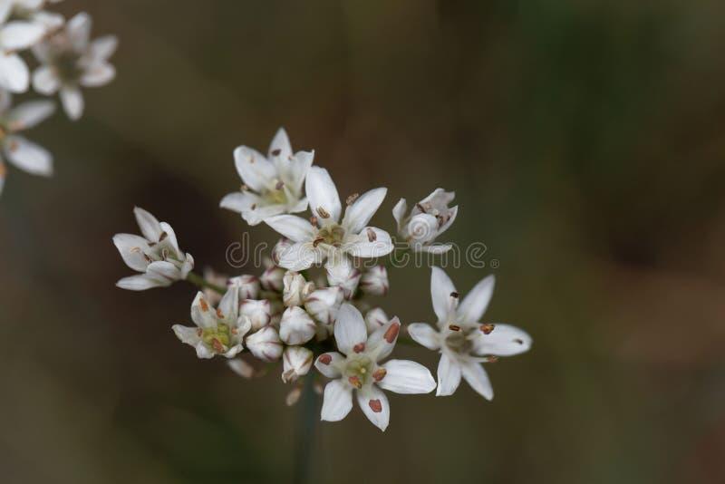 Цветки Душист-зацветенного ramosum лукабатуна чеснока стоковое изображение rf