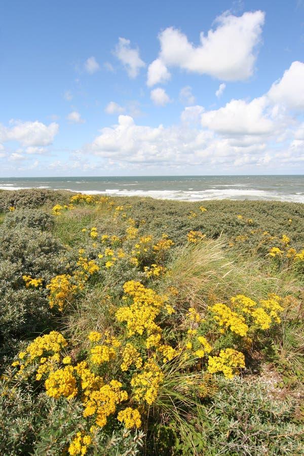 цветки дюн голландские одичалые стоковая фотография rf