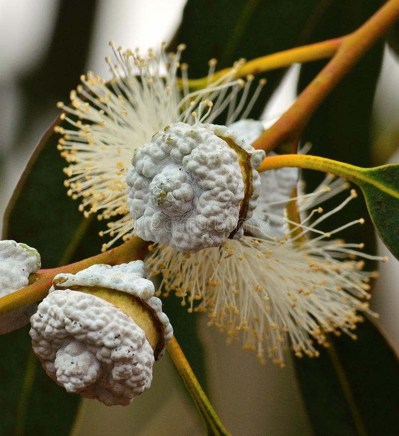 Цветки евкалипта начиная пускать ростии стоковое изображение rf