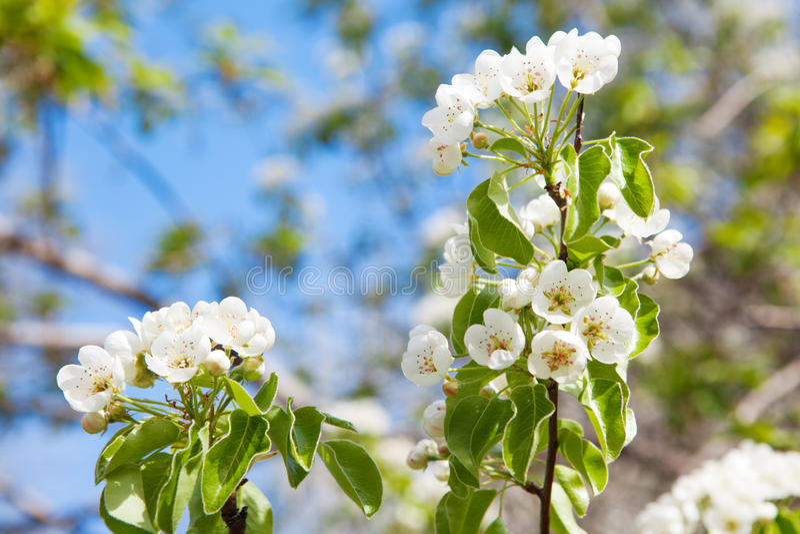 Цветки дерева весной стоковое изображение rf