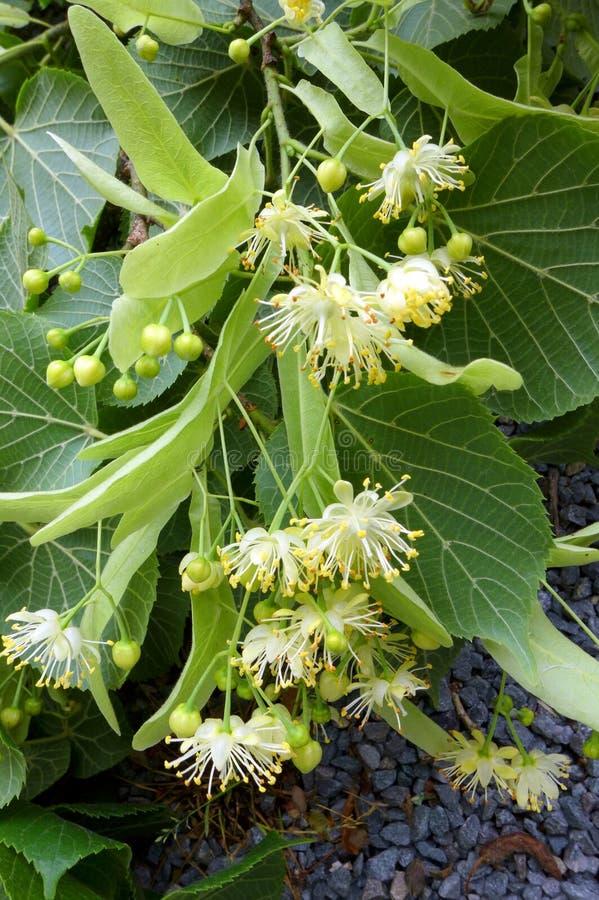 Цветки дерева липы или липы стоковая фотография