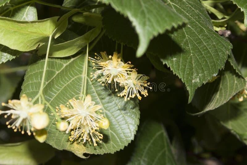 Цветки дерева липы стоковое изображение