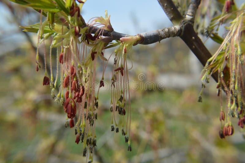 Цветки дерева ясенелистного клена стоковые фото