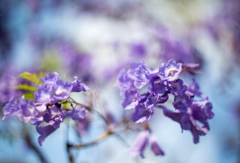 Цветки дерева Jacquaranda стоковое изображение rf